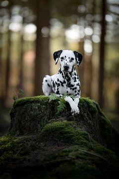 Dalmatinerhund liegt in einem dunklen Wald von Lotte van Alderen