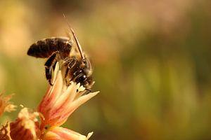 Een bij op zoek naar nectar en stuifmeel