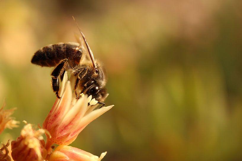 Een bij op zoek naar nectar en stuifmeel van Shot it fotografie