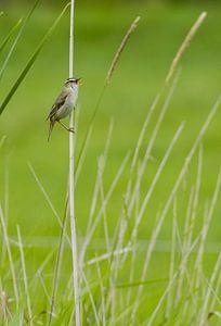 zingende rietzanger Acrocephalus schoenobaenus in Noord Holland, Nederland