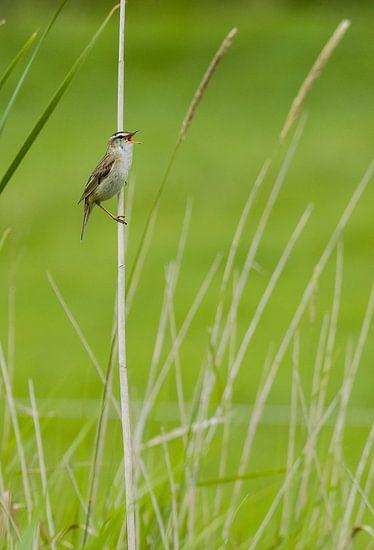 zingende rietzanger Acrocephalus schoenobaenus in Noord Holland, Nederland van Martin Stevens
