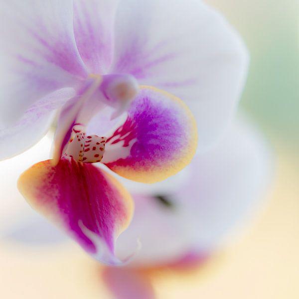 orchidee van Maja Ooms