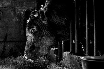 Stier in oude koeienstal van Danai Kox Kanters