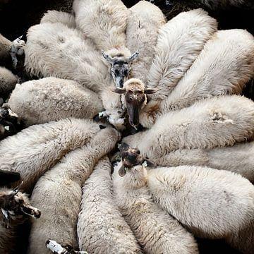 Fleur de laine sur Riekus Reinders