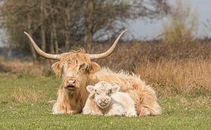Schotse Hooglander met kalf, blond