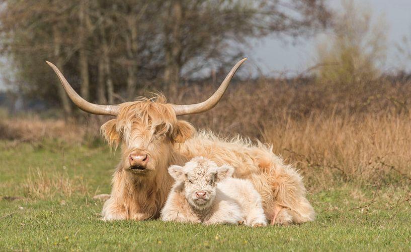 Schotse Hooglander met kalf, blond van Ans Bastiaanssen