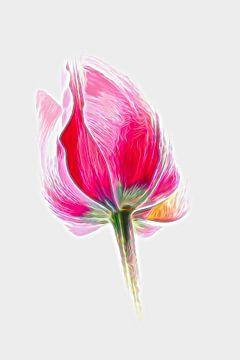 Tulpe Kunst von Jacqueline Gerhardt