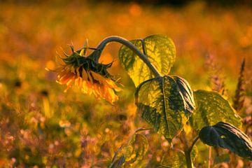 Zonnebloem in het avondlicht van Renate Dohr