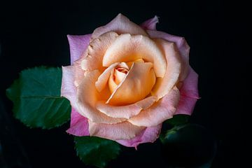 La Rose sur Pieter Heres