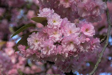 Bloeiende prunusboom van Ton Reijnaerdts