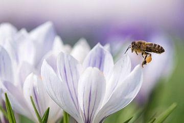 Biene im Flug. von Francis Dost