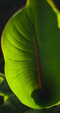 bananenblad van Jibbe Vloedgraven