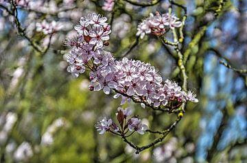 Kirschblüten von Frans Blok