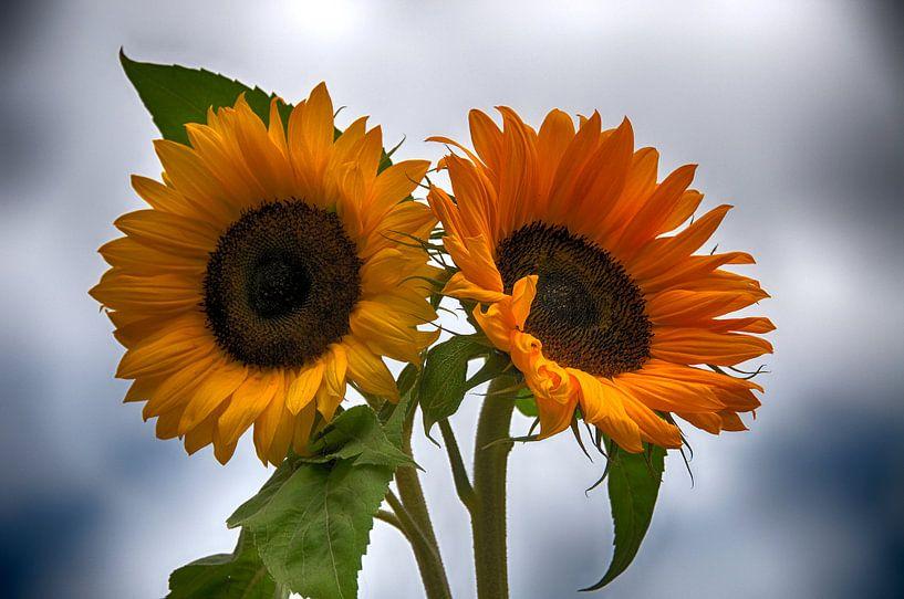 Twee zonnebloemen van Compuinfoto .