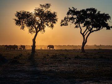coucher de soleil des éléphants derrière les arbres sur Marc Van den Broeck