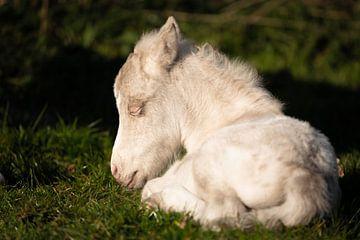 Niedliches Fohlen eines Ponys (Shetland) von Jeroen Mikkers