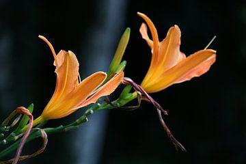 Oranje bloemkelken van Rianne Loskamp