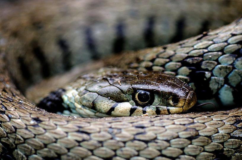 Snake-eye van Lex Schulte