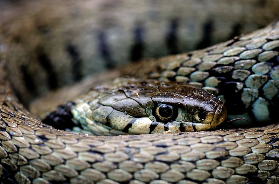 Snake-eye