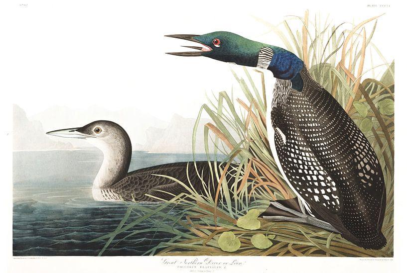 Eistaucher von Birds of America