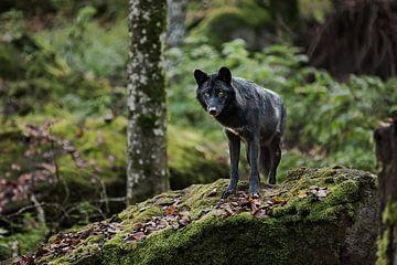 Timberwolf op een rotsblok van Moo pix
