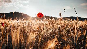 Mohnblume in einem Feld im Thüringer Wald von Denny Lerch