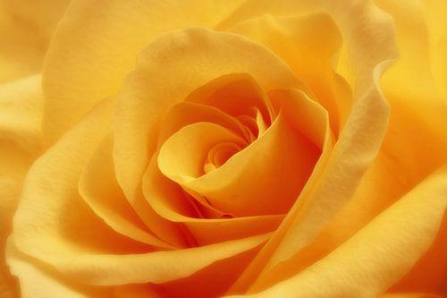 Gele roos