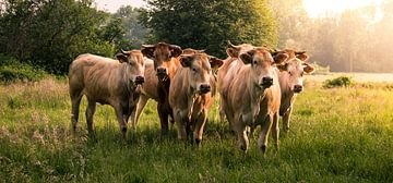 Zomeravond met koeien van Harry van Rhoon