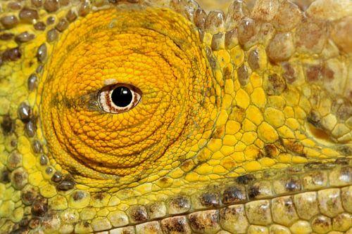 close up Parsson's kameleon van Antwan Janssen