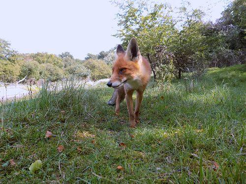 Beautyfull Fox ( Col. 2015 ) van
