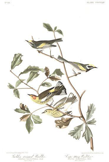 Geelvleugelzanger van Birds of America