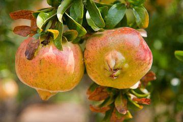 Granaatappels in boomgaard van Ivonne Wierink