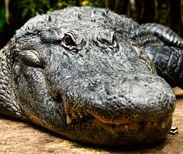 Alligator oder Krokodil von