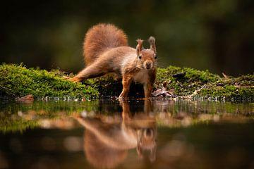 Eichhörnchen mit Spiegelung im Herbst von Isabel van Veen