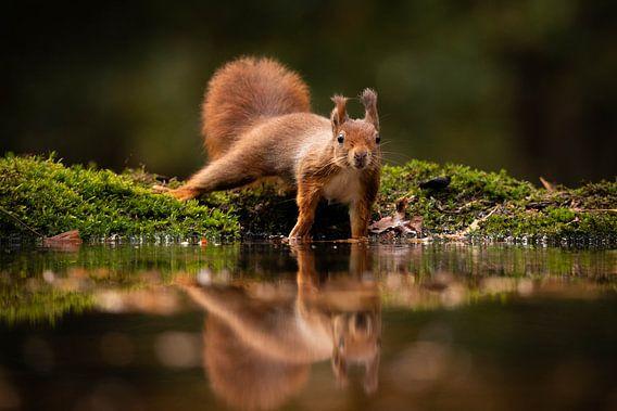 Eichhörnchen mit Spiegelung im Herbst