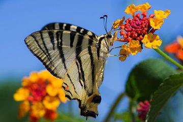 Vlinder van Miranda van Hulst