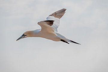 Vliegende Jan van Gent met gespreide vleugels van