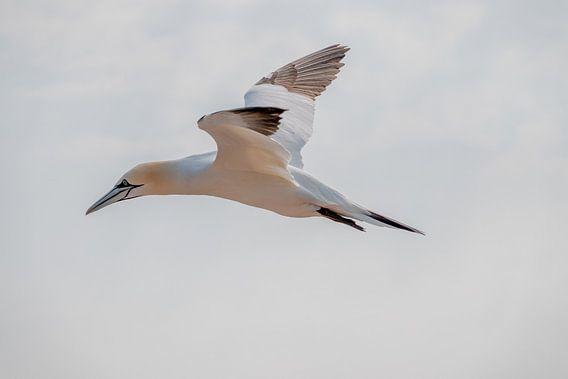 Vliegende Jan van Gent met gespreide vleugels