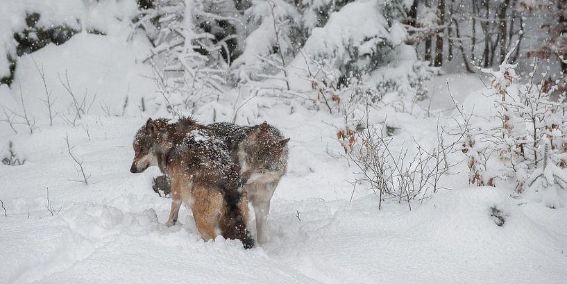Wolven in winterlandschap van Monique Pouwels