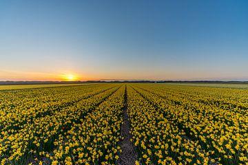 Narcissen Texel van Texel360Fotografie Richard Heerschap