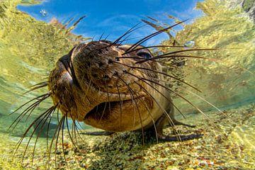 Californische zeeleeuw in La Paz van Filip Staes