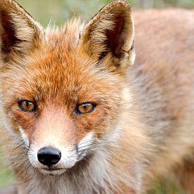 Nieuwsgierige vos van W J Kok