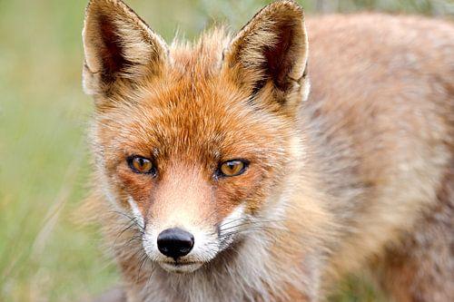 Nieuwsgierige vos van