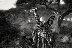 Giraffes in Tanzania zwartwit van