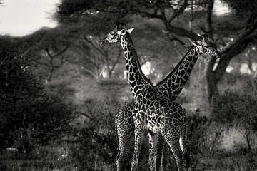 Giraffes in Tanzania zwartwit sur Jovas Fotografie