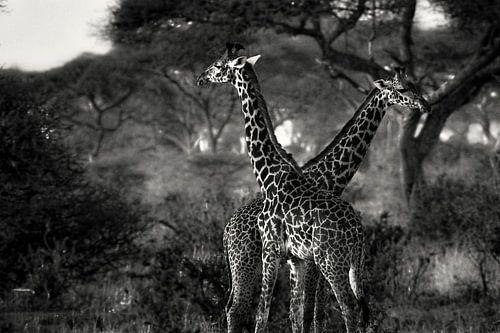 Giraffes in Tanzania zwartwit