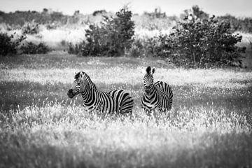 Twee zebra's wandelen door de grasvlakten van Etosha National Park in Namibië. van Claudio Duarte