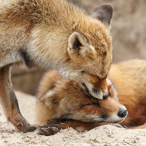 Twee vossen begroeten elkaar van