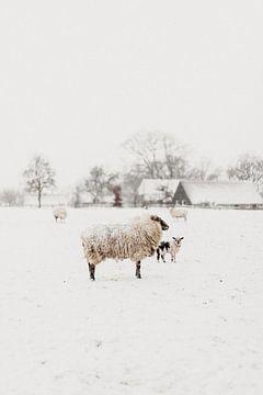 Neugieriges Lamm im Schnee | Outdoor-Fotografie von Holly Klein Oonk