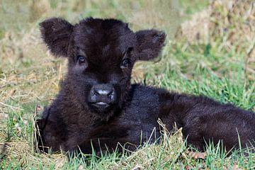 Portrait eines liegenden neugeborenen Kalb schwarz Scottish Highlander im Gras im Frühjahr von Ben Schonewille
